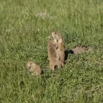 Prairiehondjes