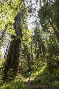 Wandelen tussen de redwoods