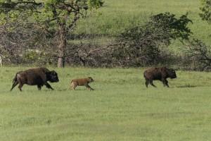 Gezinnetje bisons